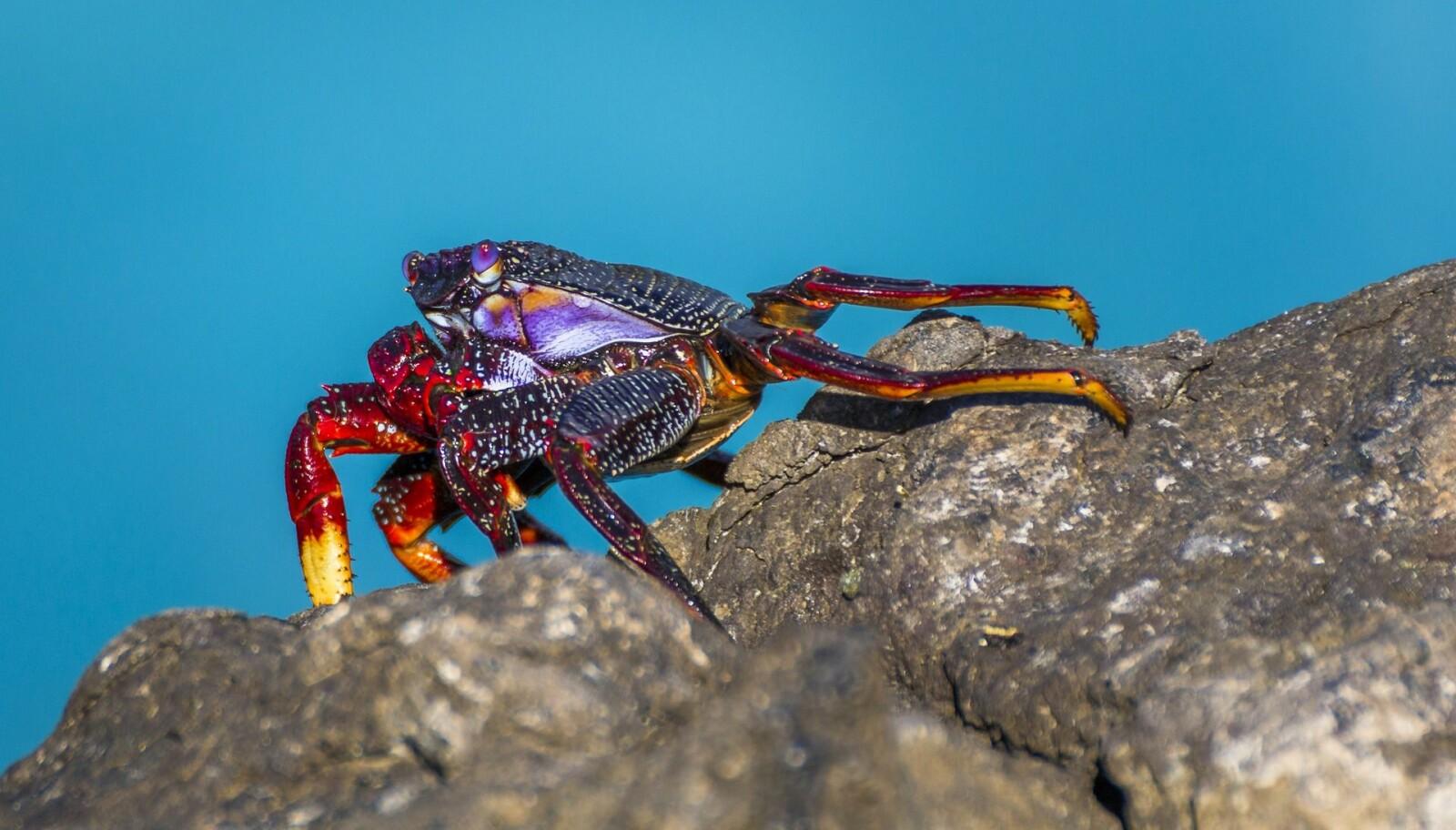 Krabbe, foto fra pixabay.com
