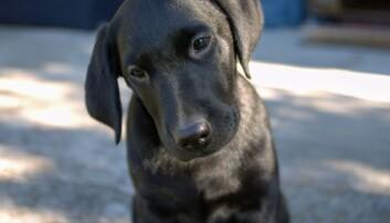 Labrador. Hund.