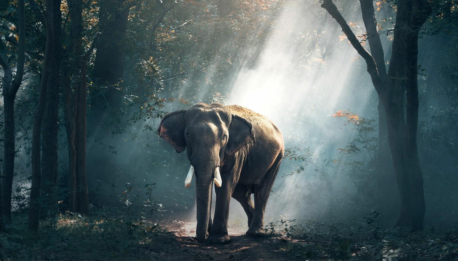 Foto fra pixabay.com elefant