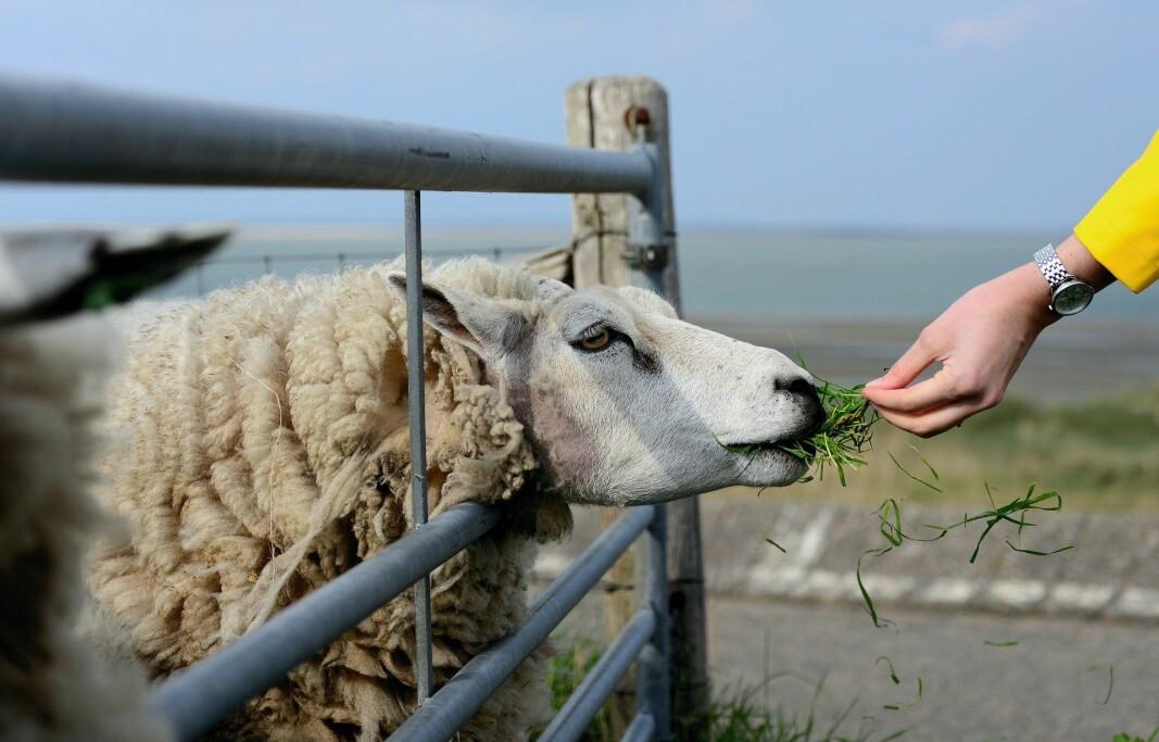 Det här är en bild på ett får.