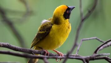 Fugl, gul